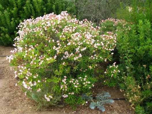 Keře oleandrů mají vzdušnou strukturu adlouhé, tenké, kožovité listy. Květy jsou bílé, červené, růžové, žluté nebo šeříkové, jednoduché nebo složené.