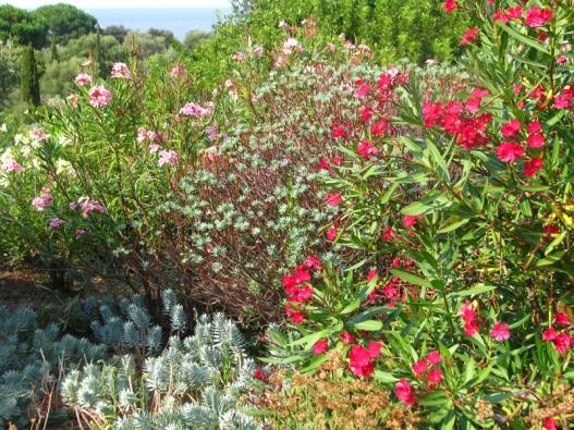 Oleandry můžete obdivovat na dovolených ve Středomoří. Pokud si přivezete několik dřevitých řízků, vypěstujete si rostliny vrůzných barvách.