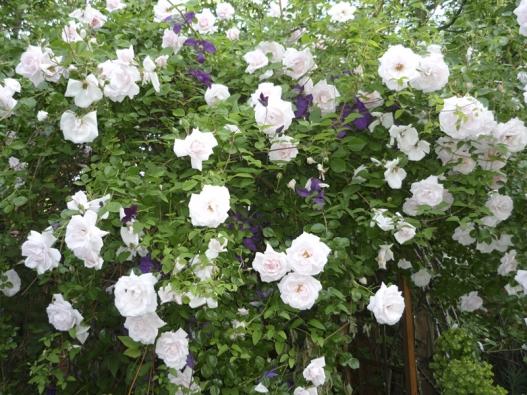 Popínavé růže vděčí  zasvůj vznik hlavně botanickým druhům Rosa multiflora, R.moschata, R. sempervirens, R. arvensis, R. wichuraiana, R. setigera nebo R. alpina. Tyto keře tvoří někdy krátké, ale častěji až několik metrů dlouhé výhony. Vyžadují připevnění naopěrnou konstrukci.