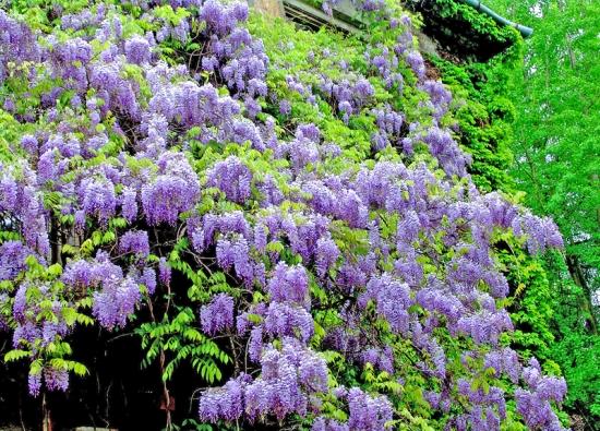Vistárie čínská (Wisteria sinensis) má nápadné květy aje vhodná napergoly nebo treláže. Působí vznešeně pocelý rok. Napodzim, když opadají listy, se odhalí propletené dřevité výhony, které šplhají dovýšky přes 10m. Najaře se ozdobí dlouhými převislými hrozny motýlovitých květů, vlétě zahalují dům krásnými listy.
