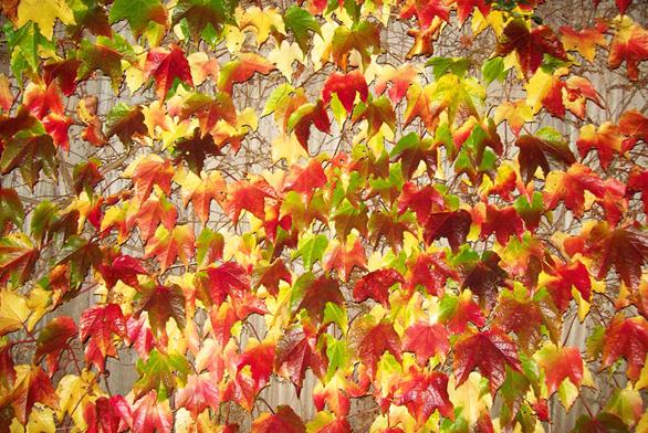 Loubinec je opadavá popínavá rostlina, patřící dočeledi révovitých. Nemá žádné zvláštní nároky.