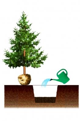 2) Na dno jámy dejte vhodný substrát nebo upravenou původní zeminu vrchní vrstvy, kterou smícháte se substrátem, pískem, kompostem apod. podle toho, čím potřebujete zeminu vylepšit. Je vhodné přimíchat izásobní hnojivo, jako je kostní moučka nebo rohovina. Tuto vrstvu řádně ušlapejte dotakové výšky, aby nani položený stromek sbalem byl již vkonečné výšce sázení. Vrstvu prolijte vodou anechte ji vsáknout.