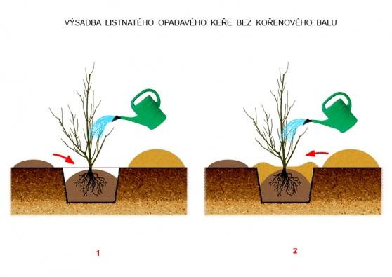 1) (vlevo) Na dno dejte lepší zeminu zvrchní vrstvy, kterou je vhodné ještě vylepšit. Tou prosypte ikořeny adobře ji utlačte rukama. Řádně rostlinu zalijte. 2) (vpravo) Nahoru dejte horší původní zeminu, zníž vytvoříte imisku pro zalévání, akeř opět zalijete.