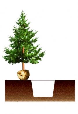 1) Velikost vykopané jámy se řídí jednak velikostí balu (jámu děláme až dvojnásobně širší ahlubší), jednak půdními poměry: čím je půda méně vhodná (kamenitá, špatně drenážovaná, znehodnocená stavební sutí, příliš písčitá apod.), tím víc se vyplatí jámu dále prohlubovat.