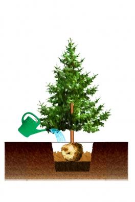 3) Kolem balu přisypávejte avrstvěte další substrát či zeminu. Opět prolijte vodou. Dbejte nato, aby kmen zůstával stále kolmo kzemi.