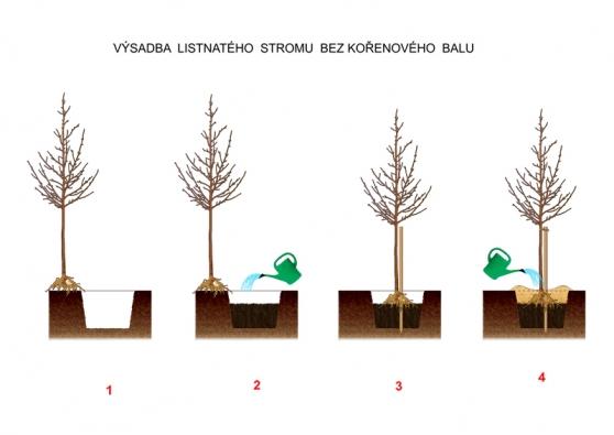 1) Jámu vyhloubíte dostatečně širokou ahlubokou tak, aby se vní kořeny neohýbaly aaby měl strom idostatek nové zeminy. Většinou je jáma široká alespoň 50cm ahluboká 40 až 50cm. 2) Do jámy nasypte vhodný substrát azhutněte jej dotakové výšky, aby se naněj dal vložit kořen stromu vesprávné výšce. Tuto vrstvu řádně prolijte anechte vsáknout. 3) Vložte strom azatlučte opatrně vedle jeho kmene kůl tak, aby nedošlo kpoškození kořenů. 4) Dosypte zeminu až kpovrchu, vytvořte hráz pro zálivku aupevněte strom kekůlu.