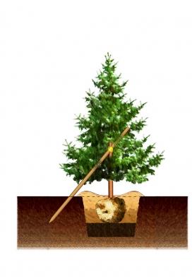 4) Dosypte půdu až nahoru avytvořte ze zeminy kolem misku, doníž budete zalévat. Vúhlu 45 stupňů zatlučte vedle kmene kůl aširokým popruhem kněmu strom připevněte tak, aby se kmen neodíral (popruh překřižte mezi kmenem akůlem).