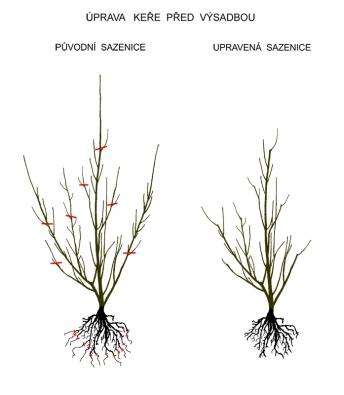 Před výsadbou je nutné některé druhy rostlin upravit nůžkami. Týká se to především prostokořenných keřů. Cílem úpravy je odstranění příliš dlouhých apoškozených částí jak nakořenech, tak navětvích. Snažte se přitom docílit lepšího tvaru apodpořit rozvětvování azahušťování korunky.
