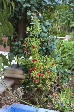 Některé odrůdy granátovníků mají zajímavě tvarované plody, jiné vynikají barvou aplností květu.