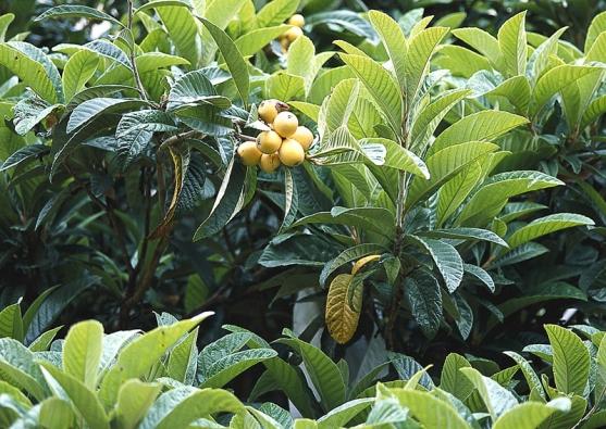 Plody lokvátu schutí meruněk dozrávají vzimní zahradě odkonce dubna dočervna. Semena nahrazují mandle.