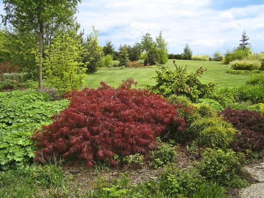 Vzáhonech dominuje javor dlanitolistý (Acer palatum Dissectum Garnet) azaním vidíte smrk ztepilý (Picea abies Acrocona).