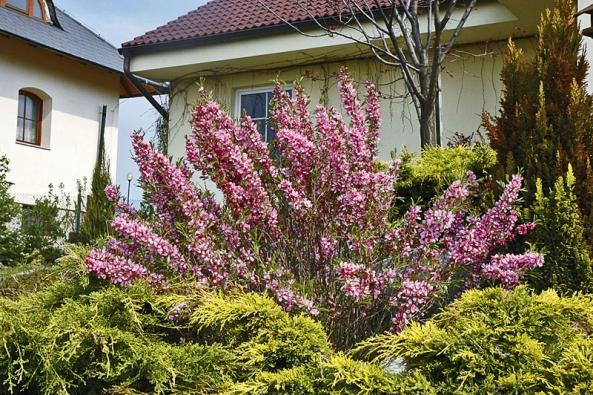 """Dalším drobným, nápadně kvetoucím keřem je mandloň nízká. Na jaře """"rozsvítí"""" jehličnany kolem terasy."""