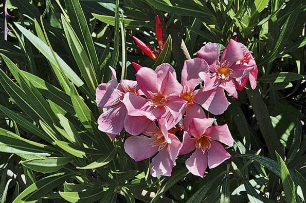 Oleandr (Nerium) patří knejoblíbenějším přenosným rostlinám na terasy. Je ovšem prudce jedovatý!