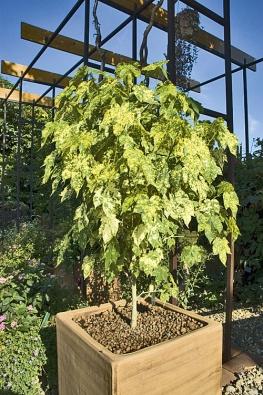 """Mračňák (Abutilon), stříhaný do stromečkovitého tvaru, je """"klasikou"""" přenosné zeleně."""