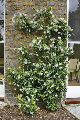 Bílé květy liány Trachelospermum jasminoides voní jako jasmín. Hodí se jako přenosná zeleň, na zimu je třeba ji uklidit do světlé chladné chodby.