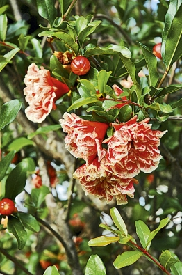 Květy granátovníku. Dopřát si můžete buď zakrslou formu ´Nana´, nebo různé plnokvěté abarevné kultivary, které se dobře tvarují.