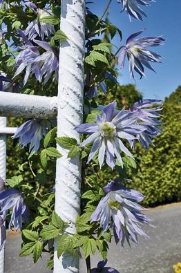 Květy plaménku Clematis macropetala ´Wesselton´ zdobí kovovou konstrukci oddělující terasu od zahrady.
