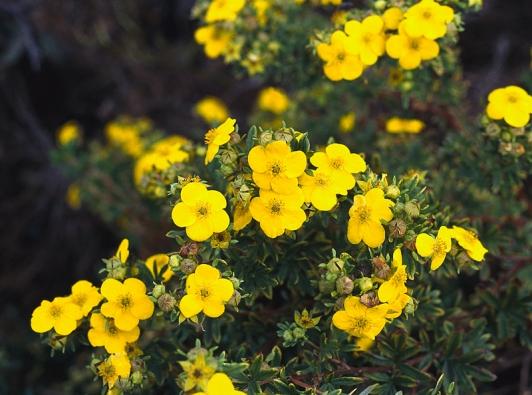 Nepřetržitě kvetoucí mochnovec neboli mochna křovitá (Potentilla fruticosa).