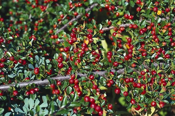 Pro malé zahrady jsou vhodné nejrůznější druhy skalníků (Cotoneaster).