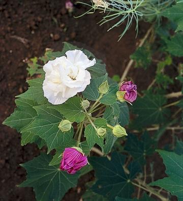 Ibišek měnivý (Hibiscus mutabilis) ráno rozkvétá bíle. Květ do večera změní barvu na sytě růžovou nebo světle fialovou.