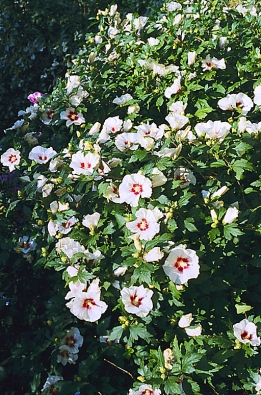 Ibišek syrský (Hibiscus syriacus) se množí řízkováním. Odrůdy roubováním, podnoží je původní druh.
