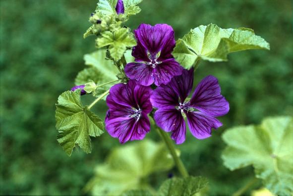 Sléz maurský (Malva mauritiana) původem zjižní Evropy byl na venkově vysazován do zahrádek na záhony léčivých rostlin. Sazenice léčivých slézů se šířily zklášterních zahrad. Dvouletá až vytrvalá bylina.