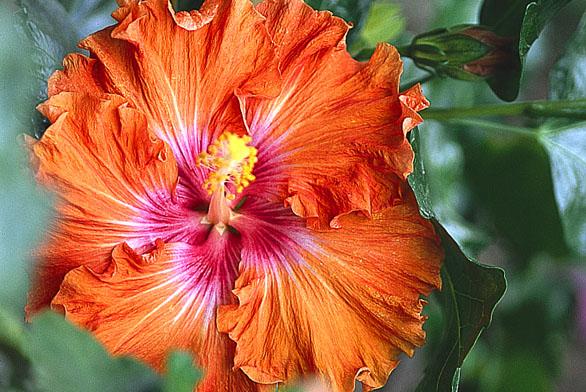 Další zodrůd ibišku čínské růže skrásným zbarvením do oranžova.