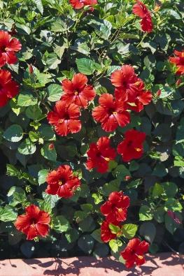 Ibišek čínská růže má květy až oprůměru 15cm. Kvete jen jeden den, ale nepřetržitě po celou dobu vegetace. Plodem je tobolka.