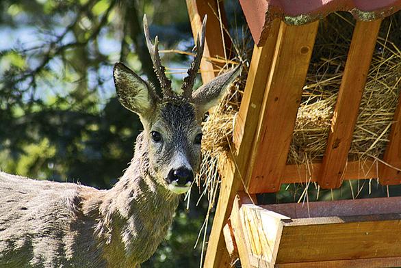 Srnci asrny jsou na rozlehlé zahradě vítanými návštěvníky.