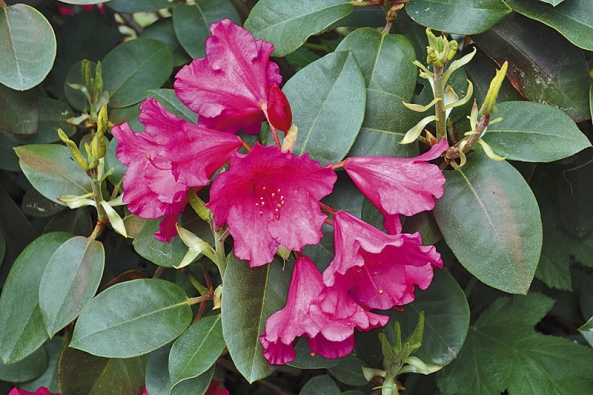 Rododendrony jsou na jaře nejnápadnější ozdobou zahrady.