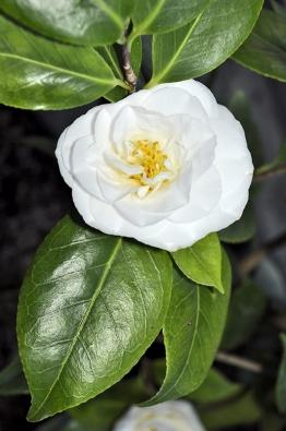 """Čistě bílé květy rostliny Camellia japonica  """"April Snow"""" rozkvétají mezi březnem a květnem."""