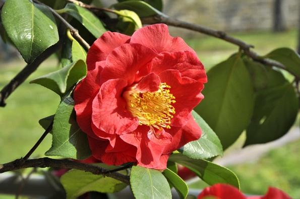 """Odrůda Camellia japonica """"Grand Prix"""" má zvlášť veliké květy."""