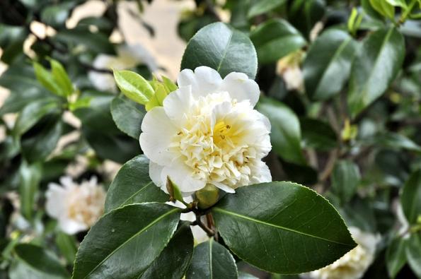 """Camellia japonica """"Jury´s Yellow"""" má bohaté květy s nádechem do žluta, vzhledem k mělkým kořenům vyžaduje mulčování."""