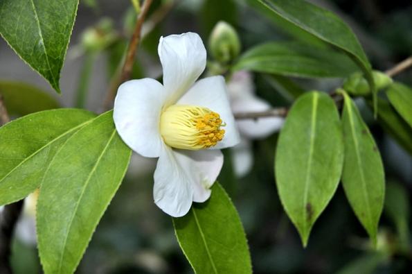 Původní druh Camellia saluenensis pochází zČíny adorůstá výšky až 5 metrů.