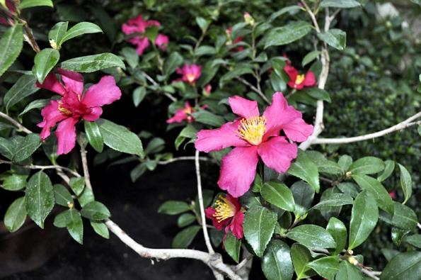 Camellia sasanqua pochází zjižního Japonska a často se pěstuje na jihu Německa, Holandska a Anglie.