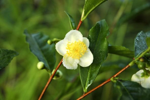 Květ Camellia sinensis neboli čajovníku čínského.