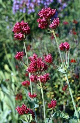 Mavuň červená (Centranthus ruber) nejlépe prospívá na kamenitých záhonech vinohradnických oblastí. Kvete od června do července. Včasným sestřihnutím odkvetlých květenství znovu rozkvete od srpna do září.