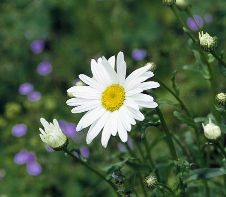 Kopretina velkokvětá (Chrysanthemum maximum, syn. Leucanthemum maximum) rozkvétá od června do července, sestřih hned po odkvětu zajistí bohaté druhé kvetení.