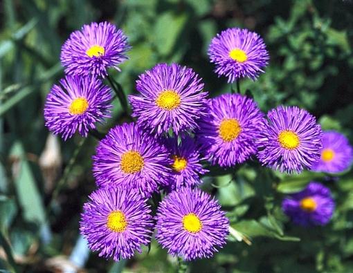 Turan (Erigeron x hybridus) kvete podle odrůdy od června do července. Sestřihnutí po odkvětu těsně nad zemí spolu se zálivkou za letních přísušků zajistí druhé kvetení vzáří.