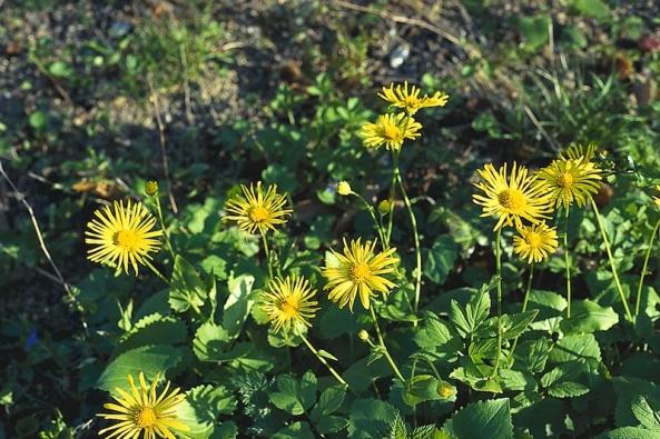 Kamzičník východní (Doronicum orientale) nasazuje květy od dubna do května. Pravidelným odstřiháváním odkvetlých květů podpoříte dorůstání nerozkvetlých poupat (nezaschnou) atvorbu nových květonosných výhonů.