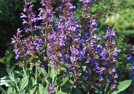 Šalvěj lékařská (Salvia officinalis) bývá doprovodnou polodřevitou trvalkou růžových keřů, používá se také jako léčivka akoření. Kvete od června do července. Odstřihnutím odkvetlých květenství vyvoláte druhé, ale mnohem slabší kvetení. Po druhém kvetení se rostlina asi odvě třetiny zkracuje apřitom se tvaruje kompaktní keřík.
