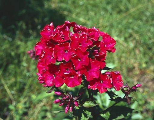 Plamenka latnatá (Phlox paniculata) bohatě kvete od června do července. Pokud zkrátíte odkvetlé stonky asi třetinu nad zemí, vzáří rostlina znovu rozkvete.