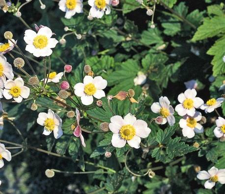 Sasankovka japonská (Anemone x hybrida) kvete od srpna do října. Pravidelné odstřihávání odkvetlých květů donutí rozkvést všechna nasazená poupata.