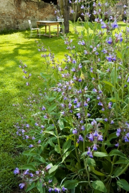Lila tóny vnáší do zahrady kromě levandule také šalvěj.