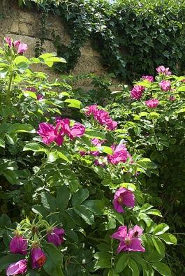 Zeď zahalují zezdola plané růže, seshora břečťan.