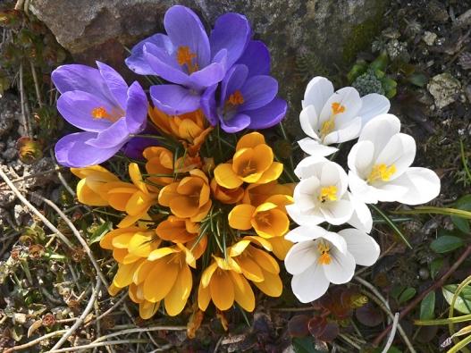"""Šafrány (Crocus) jsou nenáročné rostliny původem ze stepí. Výborně se jim proto daří veskalkách ivtrávníku, který vlétě vysychá. Malé cibulky """"vyséváme"""" mělce pod povrch půdy stejně jako usněženek (5 cm)."""