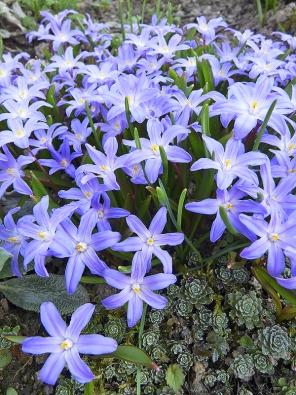 Ladonička sardská (Chionodoxa sardensis) tvoří krásné ahusté koberce květů vbarvě lila. Jen 20cm vysoké rostliny kvetou vbřeznu anejraději mají humózní zeminu vpolostínu.