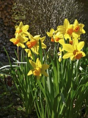 Narcisy snesou ipolostín atěžší půdu. Velké trsy bude dobré čas odčasu rozdělit. Velmi hezké jsou ivtrávníku nebo nalouce.