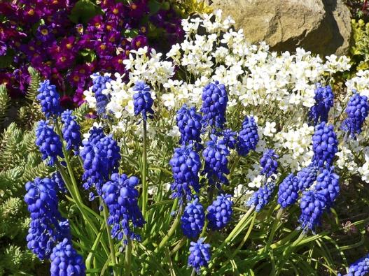 Modřenec arménský (Muscari armeniacum) je zajímavá drobná cibulovina, která vbřeznu až dubnu rozkvétá sytě modrými hrozny květů. Pochází jako mnoho jiných cibulovin zMalé Asie. Naobrázku je vpěkném doprovodu sbílýmHuseníkem kavkazským, což je ale klasická trvalka doskalek.