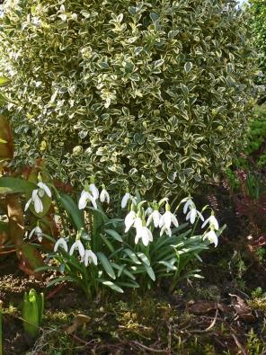 Sněženky mají rády vlhčí humózní půdu apolostín až stín pod listnatými keři astromy. Pokud se jim namístě zalíbí, budou knašemu velkému potěšení svoji kolonii každoročně rozšiřovat.